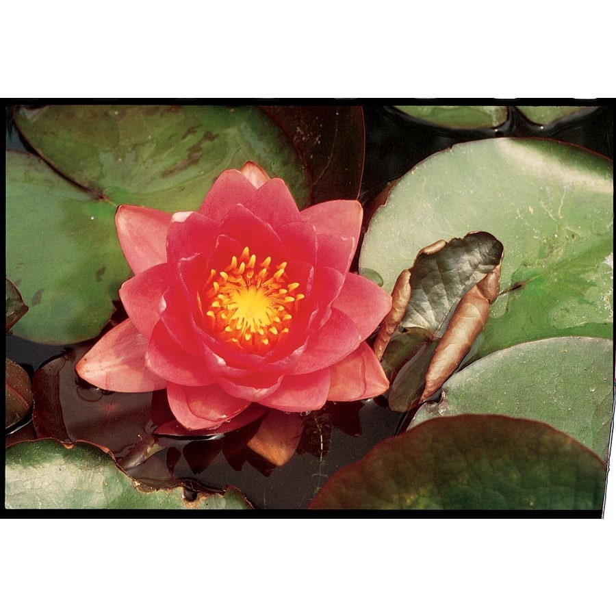 Shop 1 Count James Brydon Waterlily Bulbs Lb21734 At Lowes