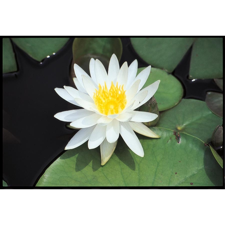 White Waterlily (Lb21735)