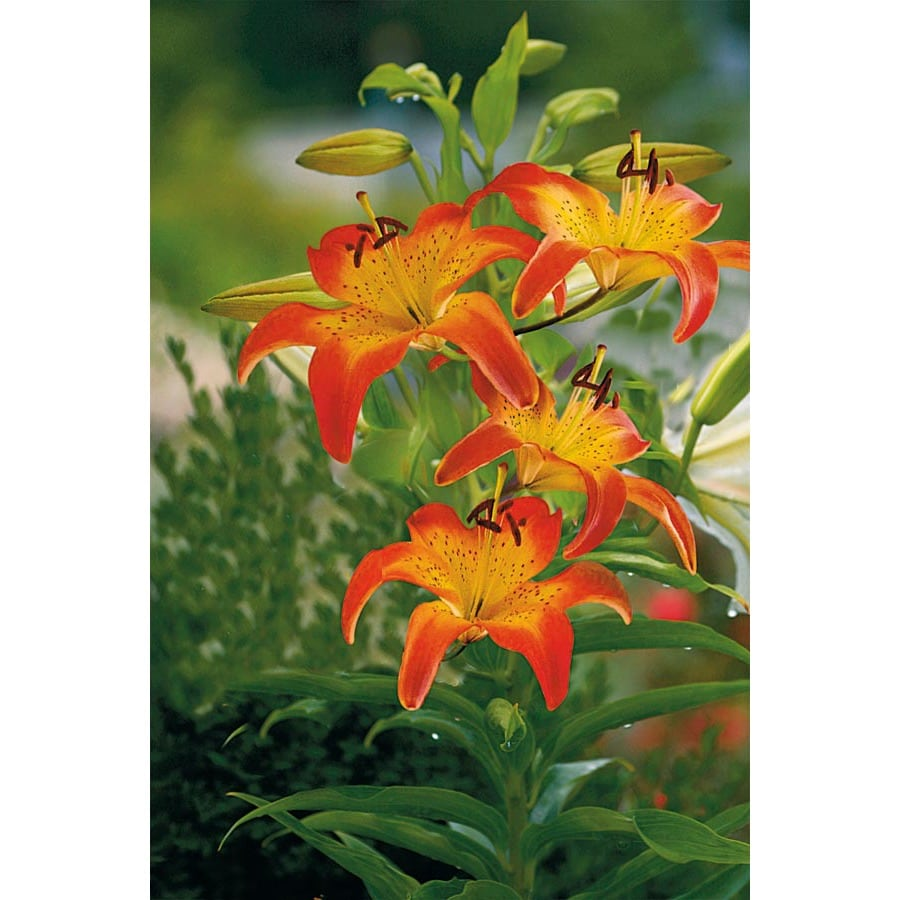 2-Count Oklahoma City Oriental Lily (L20401)