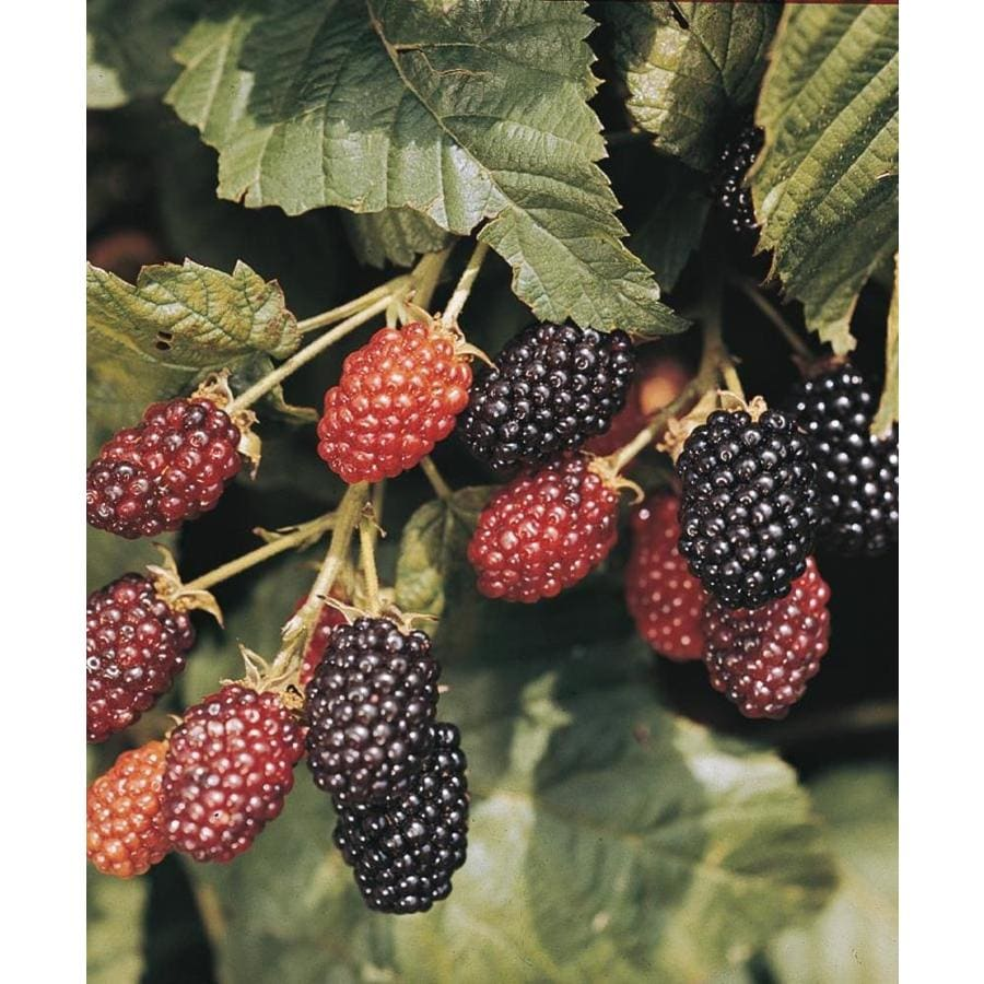 Ebony King Blackberry Small Fruit (L21308)