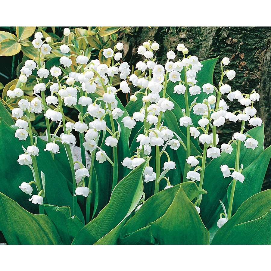 Shop 8 Count Lily Of The Valley Bulbs L8114 At Lowes