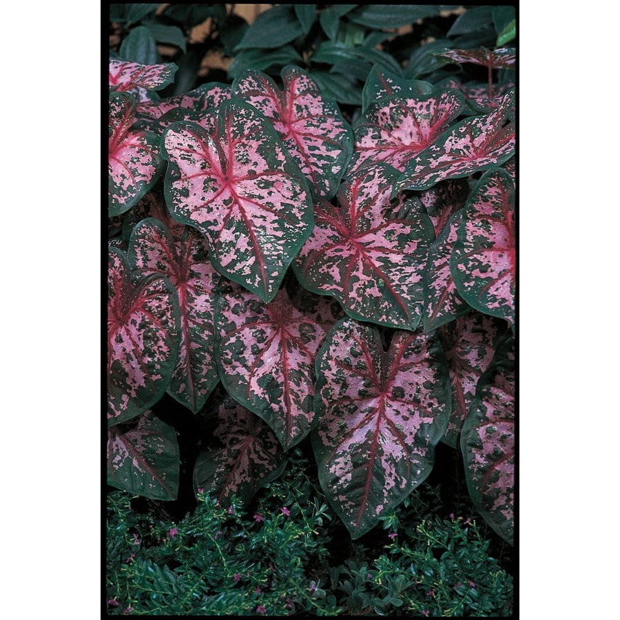 10-Count Carolyn Whorton Caladium (L15251)