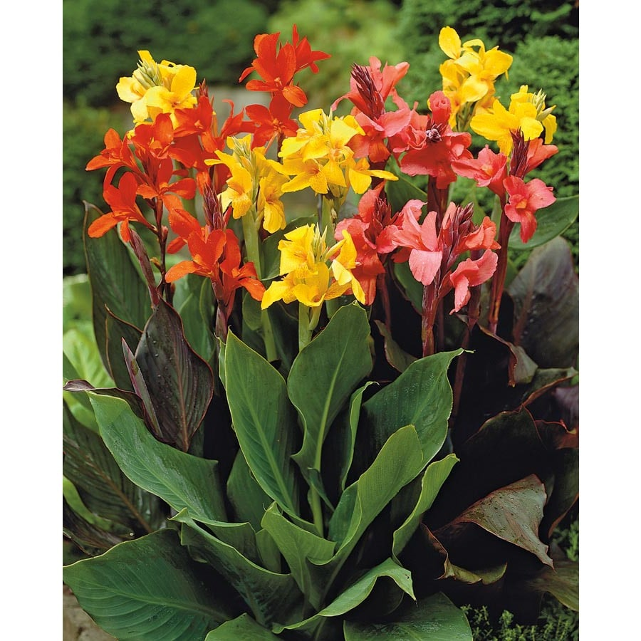 4-Count Mixed Dwarf Canna Lily (Lb3461A)