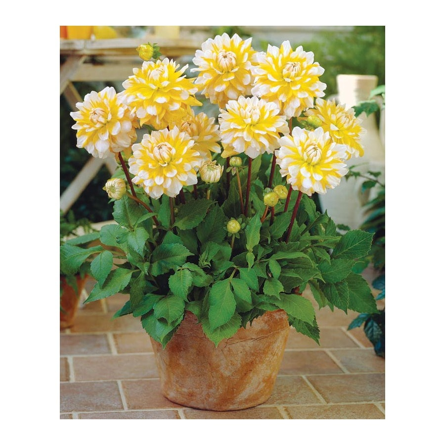 Shop 3 Count Seattle Dahlia Bulbs (LB21625) At Lowes.com