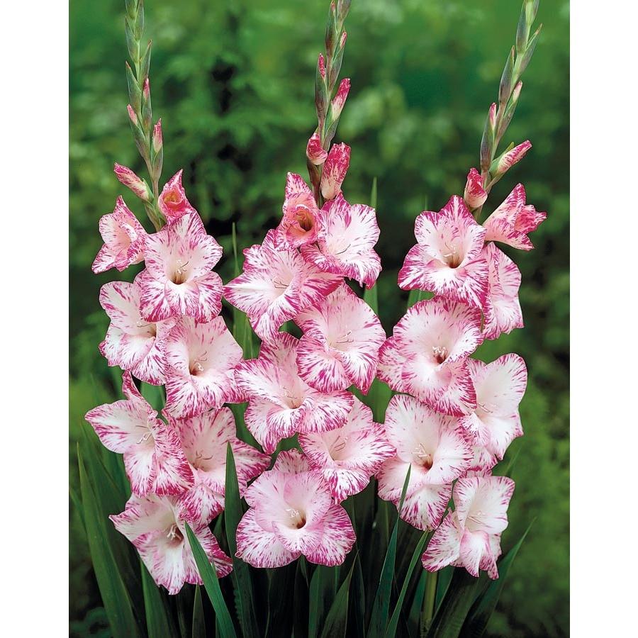 My Love Gladiolus Bulbs