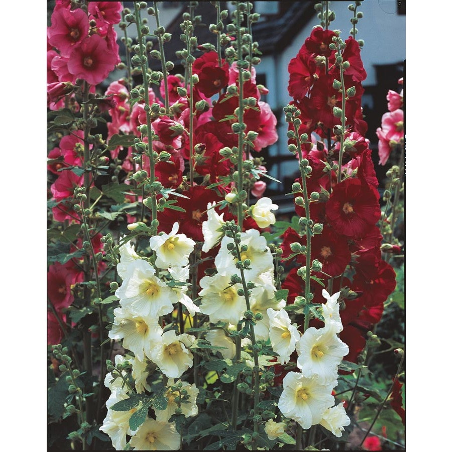 4-Count Hollyhock (L15013)
