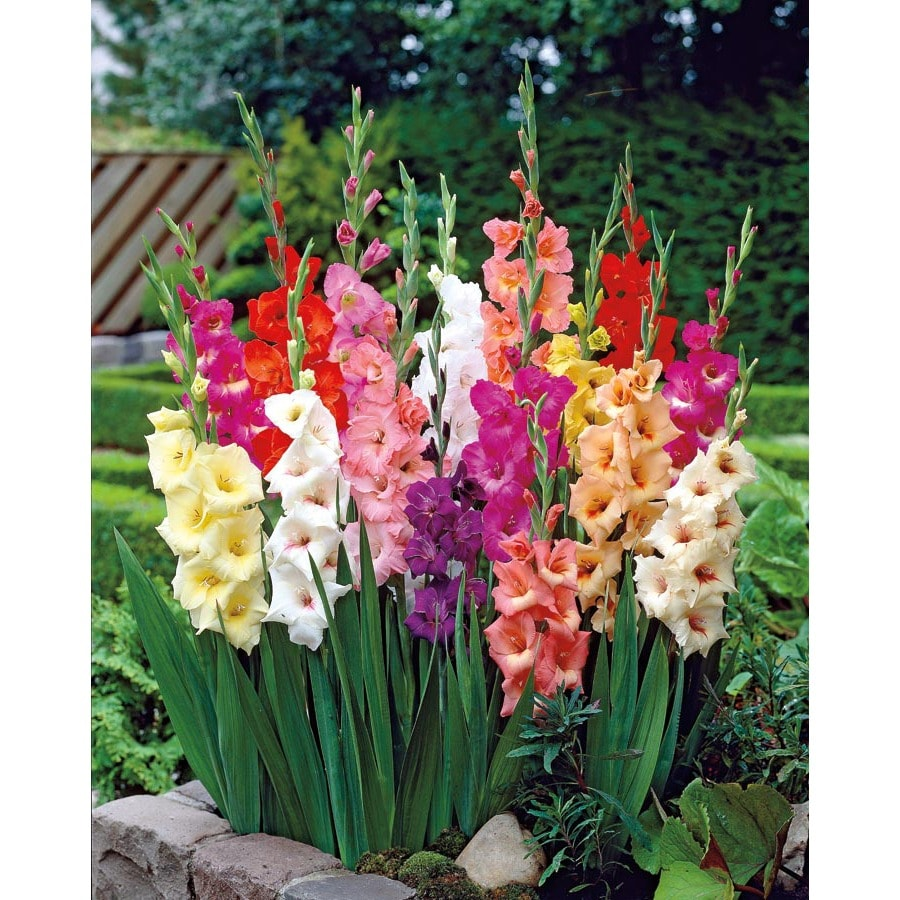 Shop 50 Count Mixed Gladiolus Bulbs At Lowes