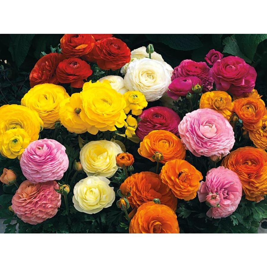 14-Count Persian Buttercup (L17846)