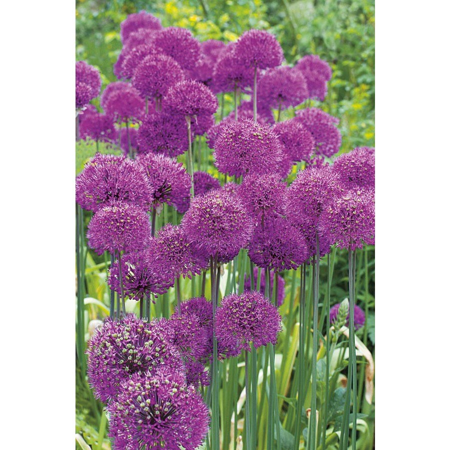 Purple Sensation Allium Bulb
