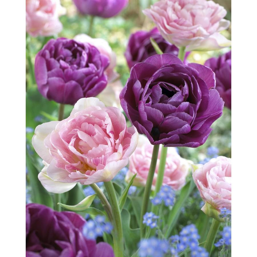 18-Pack Tulip Bulbs