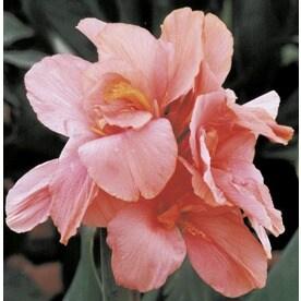 5 Count Tropical Sunrise Canna Lily Bulbs (LB22422)