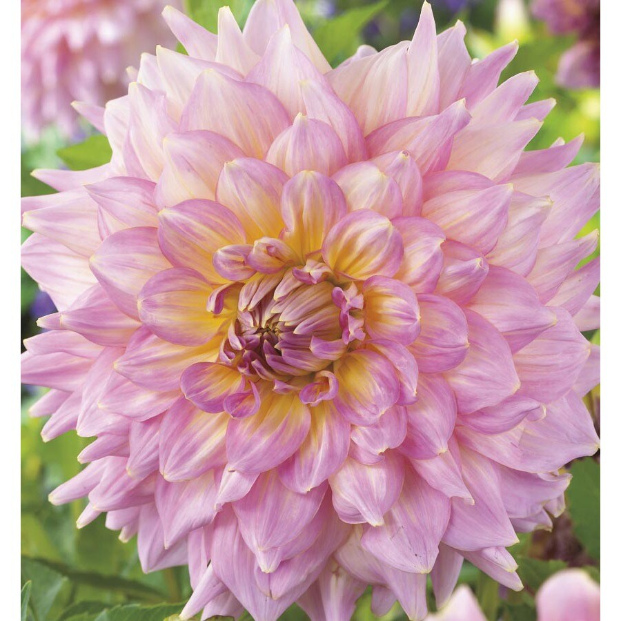 Shop 3 Count Pink Strawberry Ice Dahlia Lb22426 At Lowes