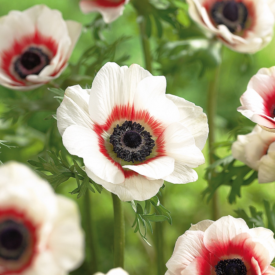 25-Count Anemones Bulbs