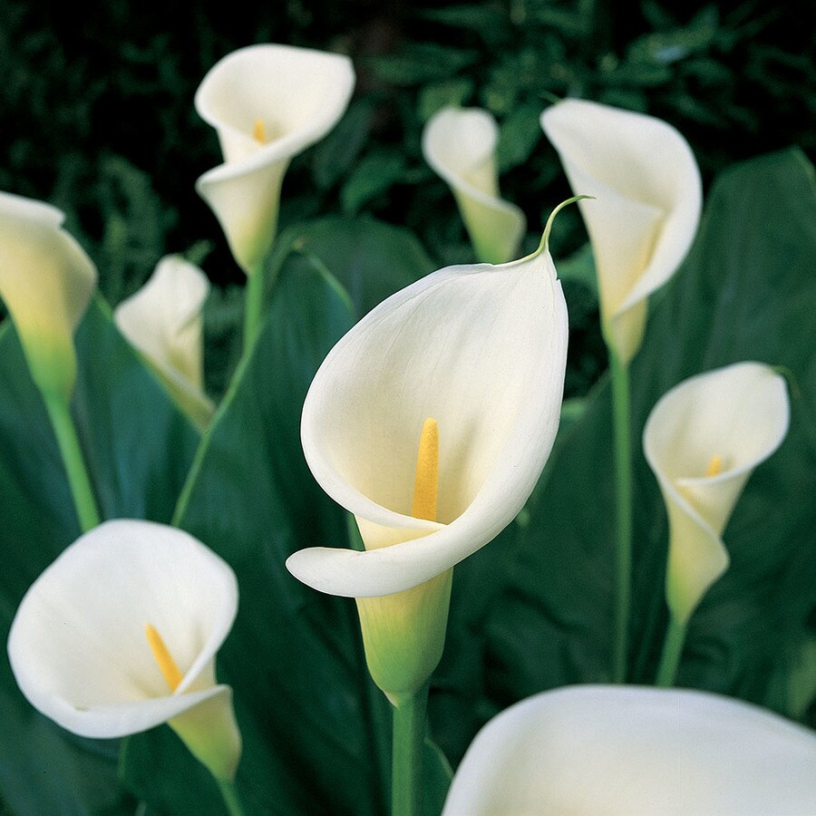 5-Count Calla Bulbs