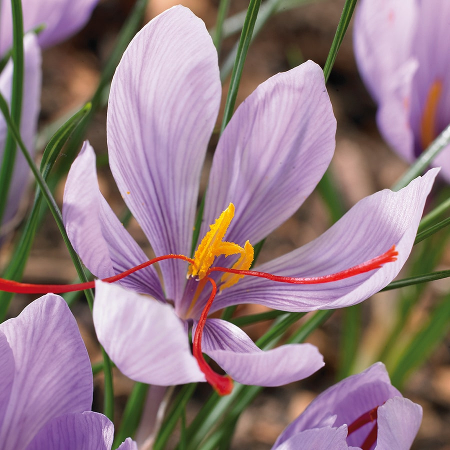 15-Count Crocus Bulbs
