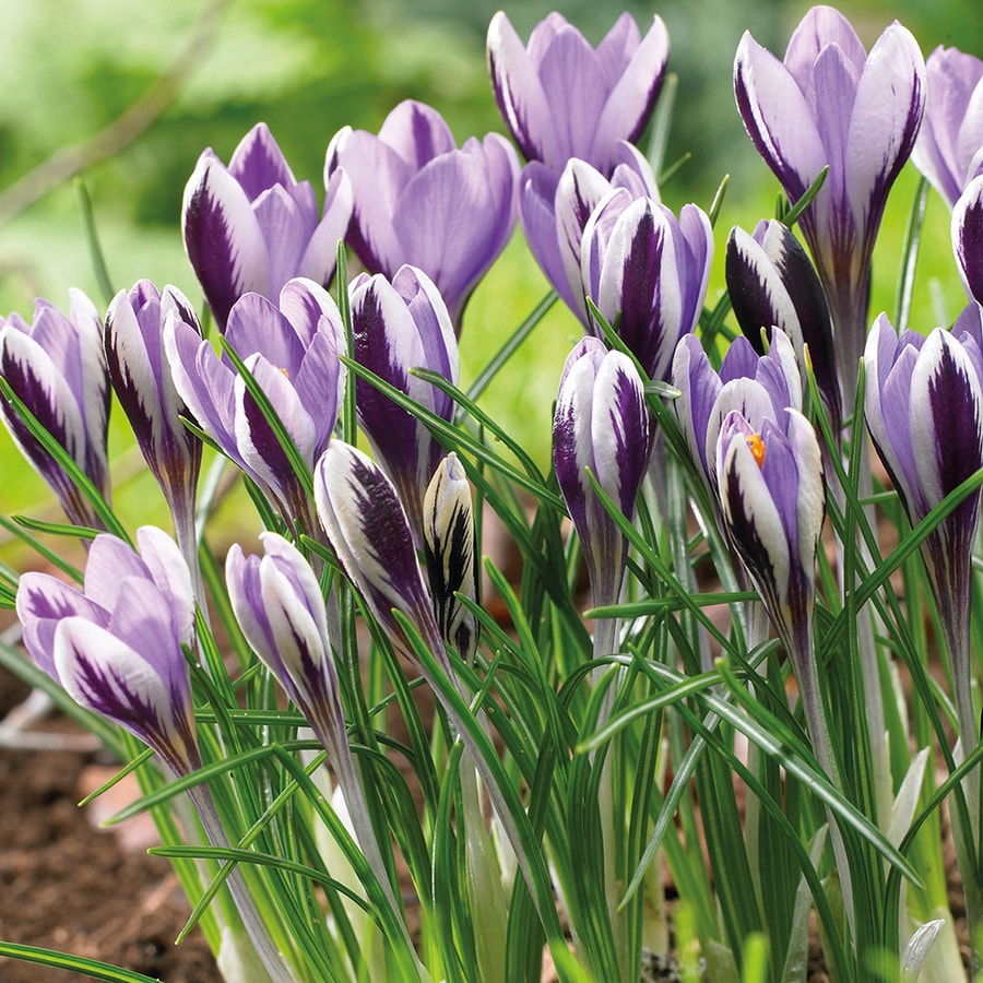 25-Count Crocus Bulbs