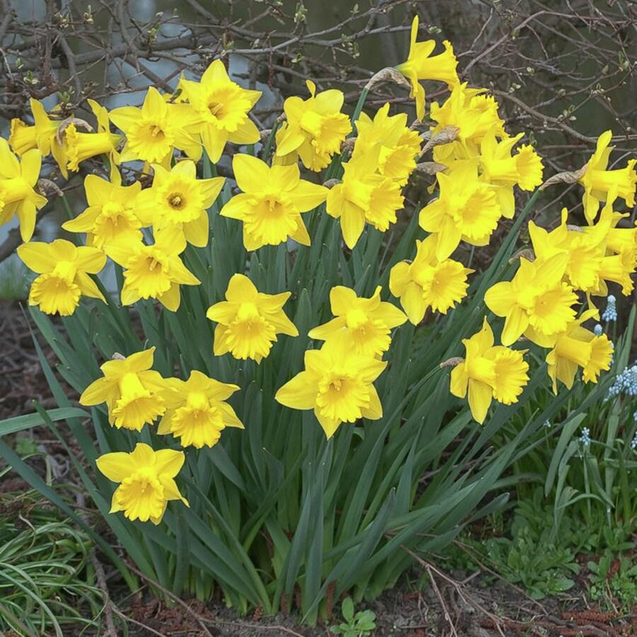 100-Count Daffodil Bulbs