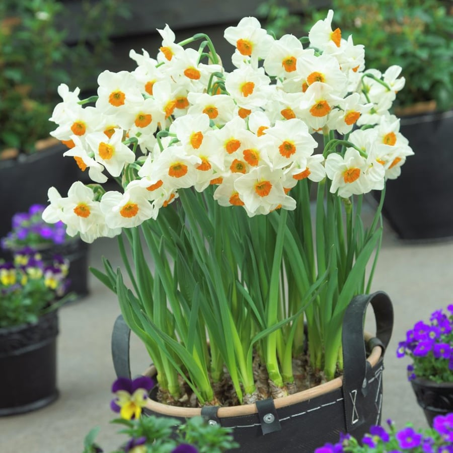 12-Count Daffodil Bulbs