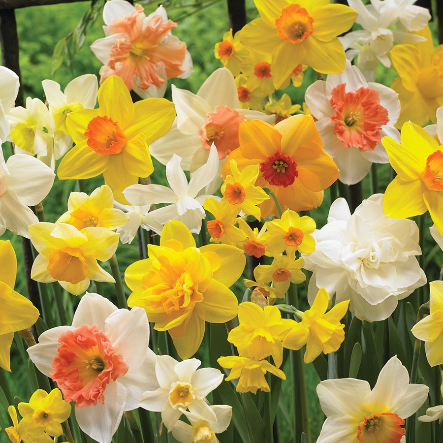 100-Count Daffodil Bulbs
