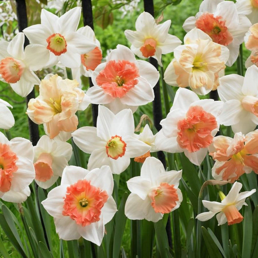 25-Count Daffodil Bulbs