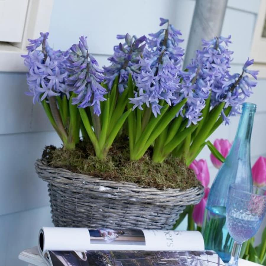 10-Count Hyacinth Bulbs