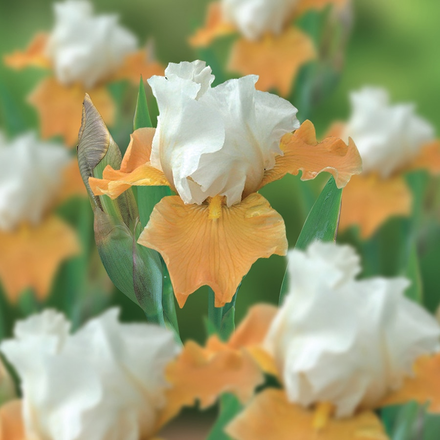 3-Count Bearded Iris Bulbs