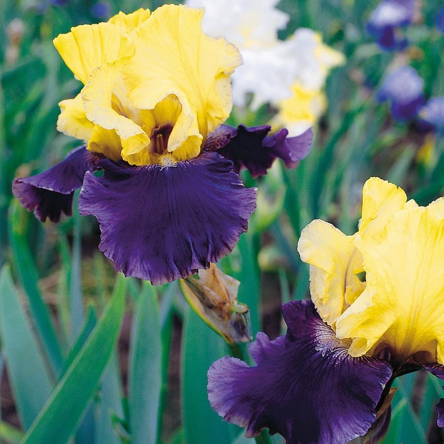 3-Count Bearded Iris Bulbs