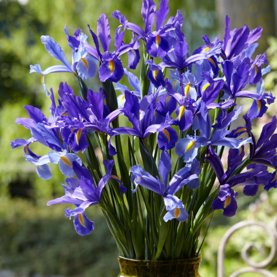 25 Count Dutch Iris Sapphire Beauty Bulbs At Lowes Com