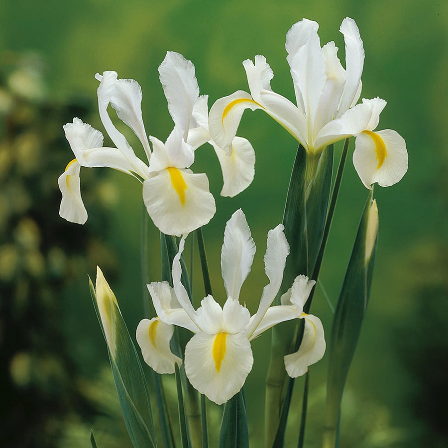25-Count Dutch Iris Bulbs