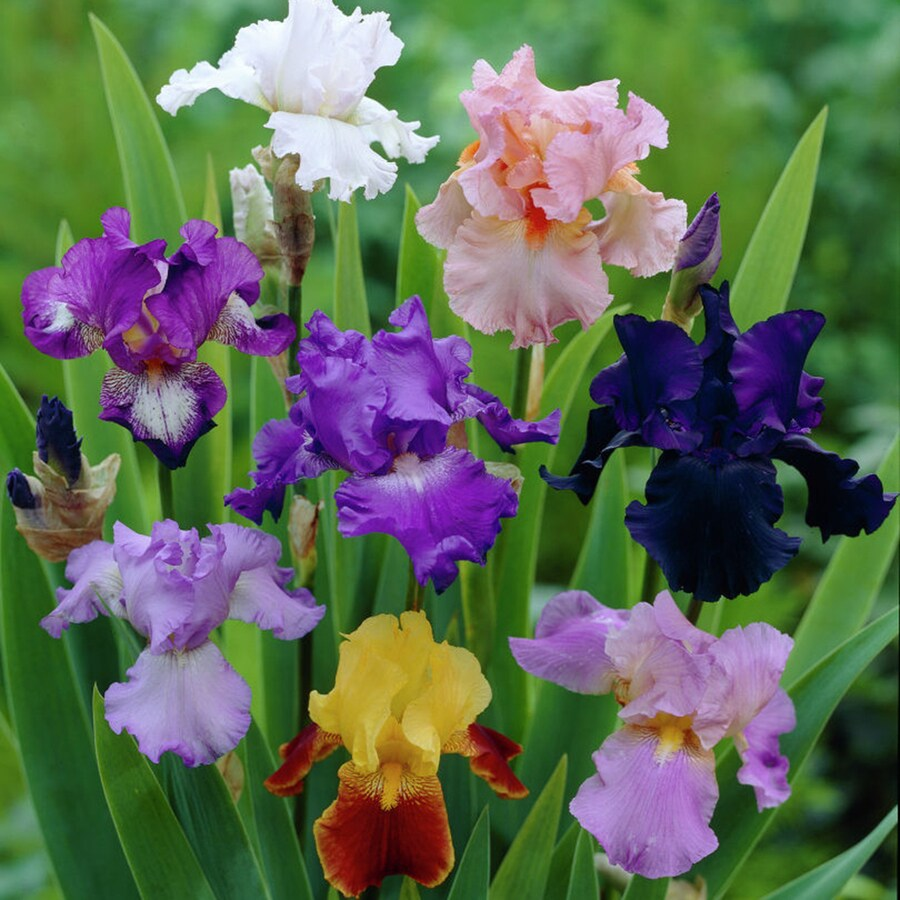 5-Count Iris Bulbs
