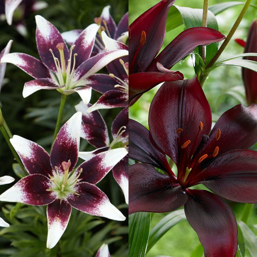 12-Count Lily Bulbs