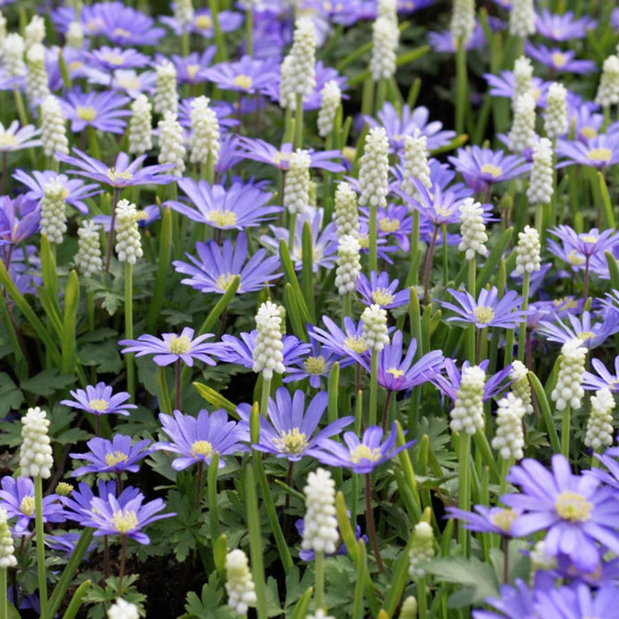 50-Count Muscari and Anemone Bulbs