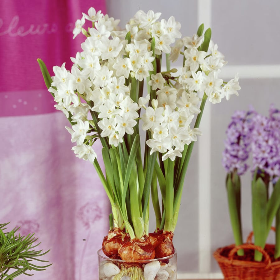 12-Count Paper Whites Bulbs