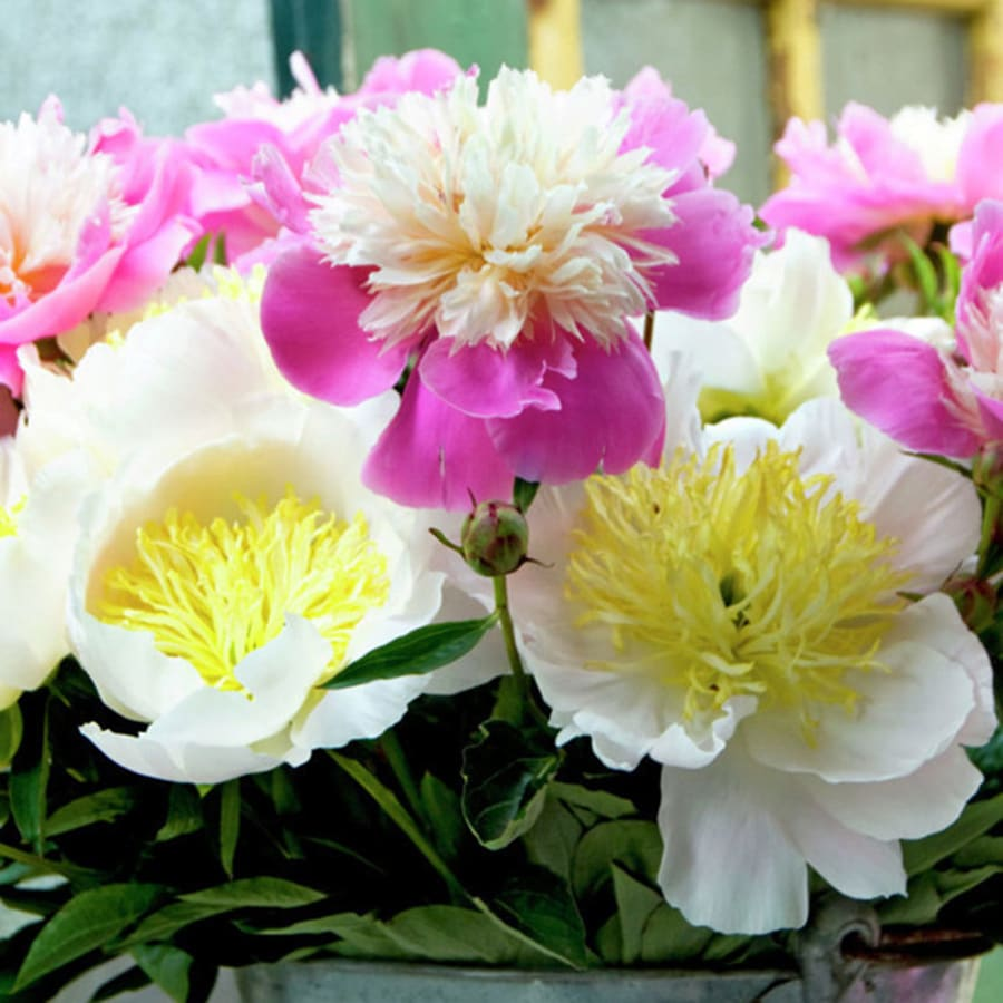Shop 5 Count Peonies White And Pink Blend Bulbs At Lowes