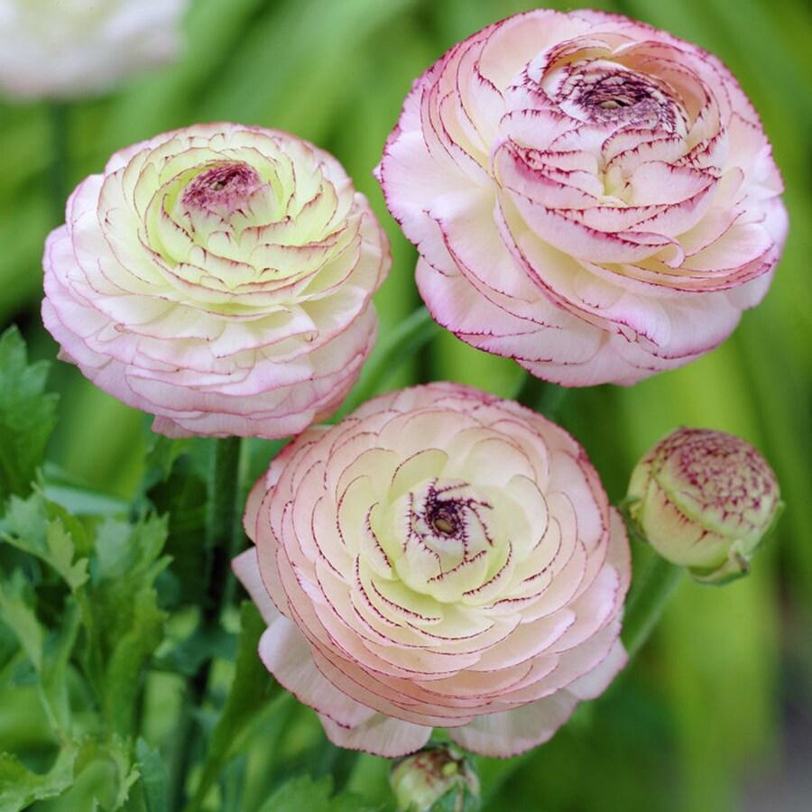 12-Count Ranunculus Bulbs