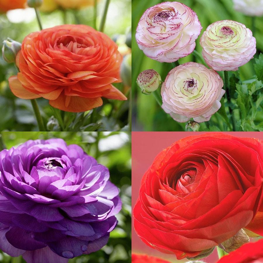 48 Count Ranunculus Bulbs