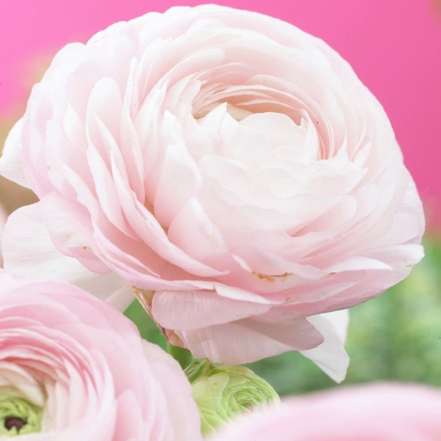 25-Count Ranunculus Bulbs