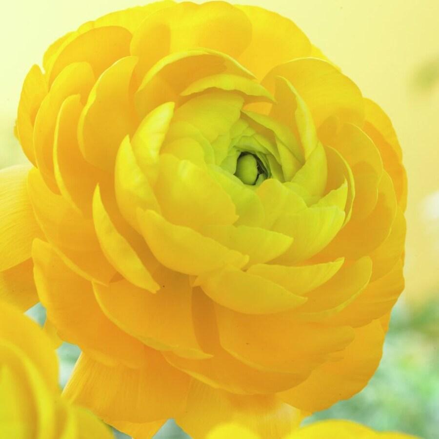 25-Count Ranunculus Bulbs