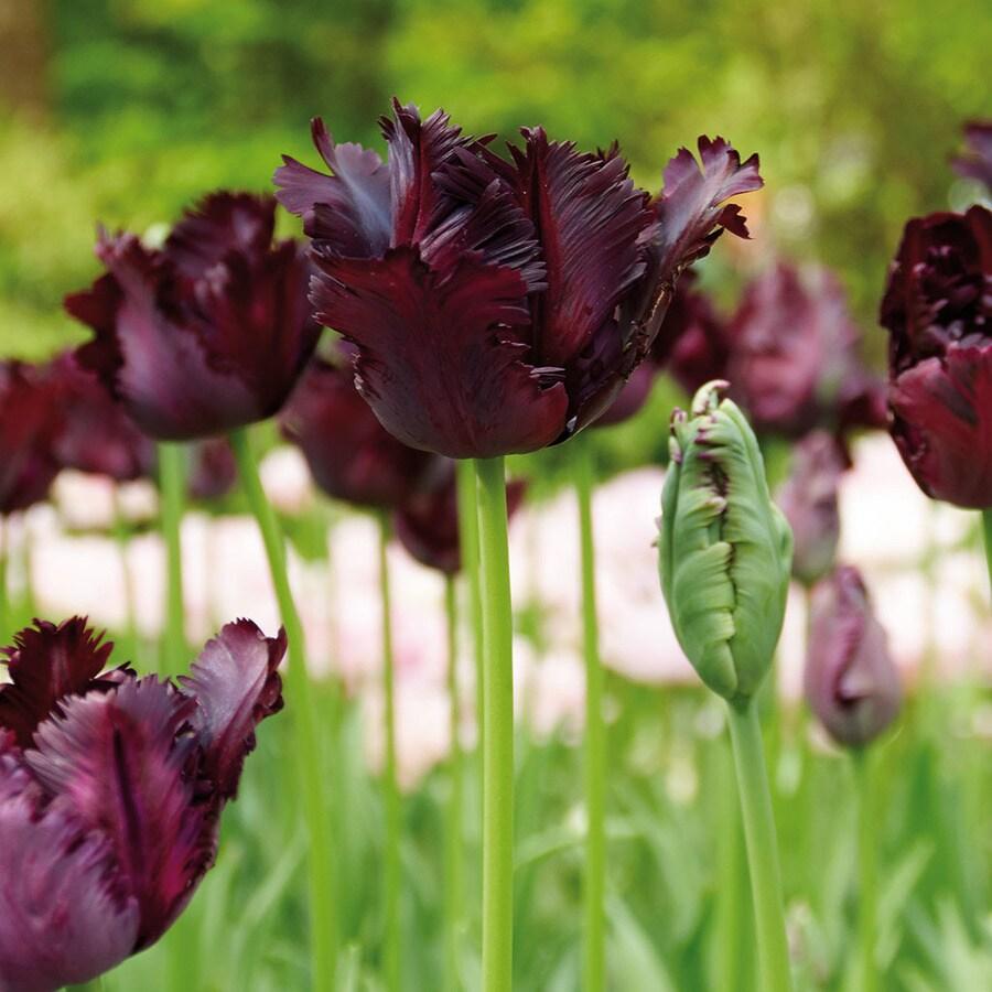 12-Count Tulip Bulbs