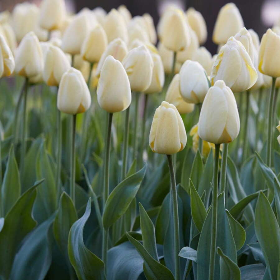 12-Count Tulip Bulbs