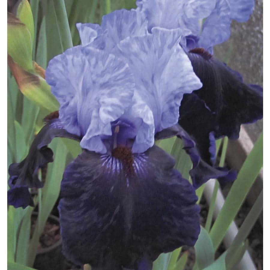 Dangerous Mood Bearded Iris (Lb503)