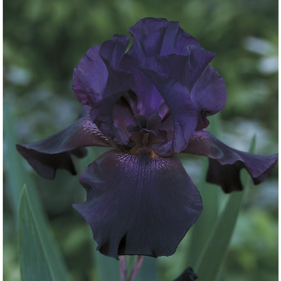 Superstition Bearded Iris (L14714)