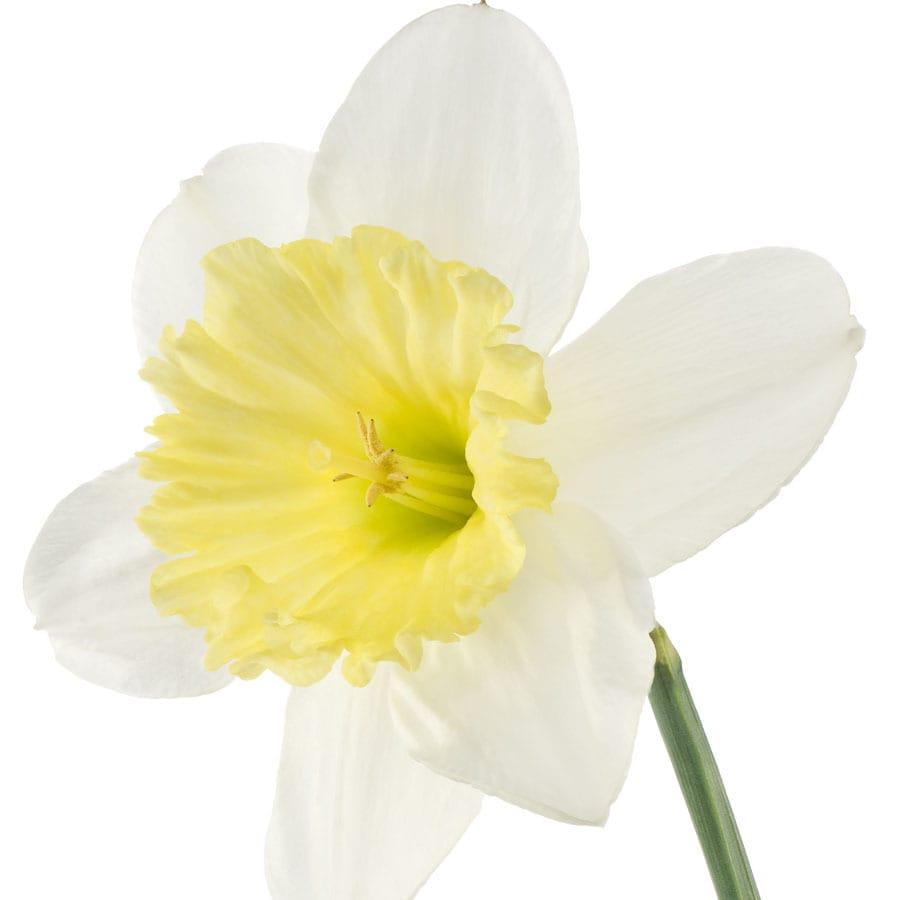 15-Pack Ice Follies Daffodil Bulbs