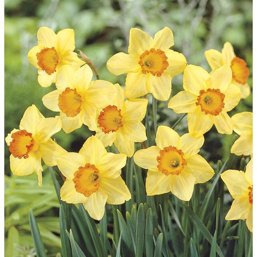 15-Count Red Devon Daffodil Bulbs