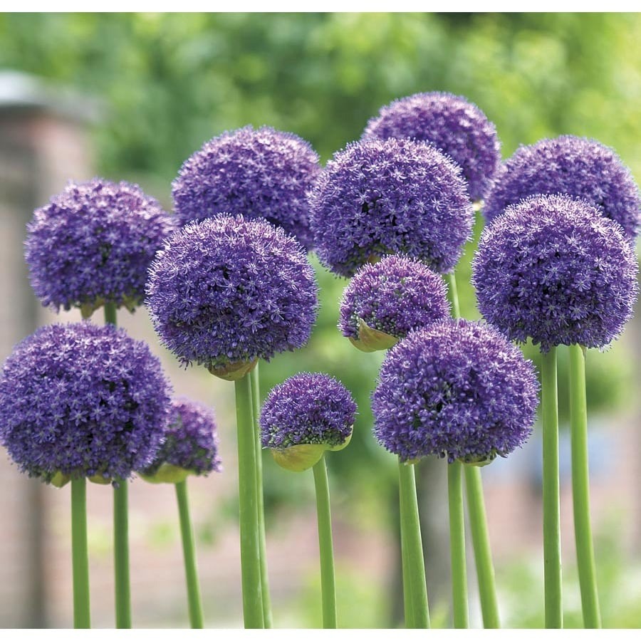2-Count Gladiator Allium Bulbs