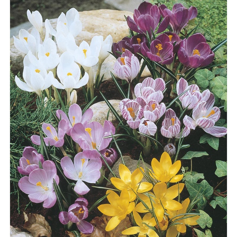 60-Count Crocus Bulbs