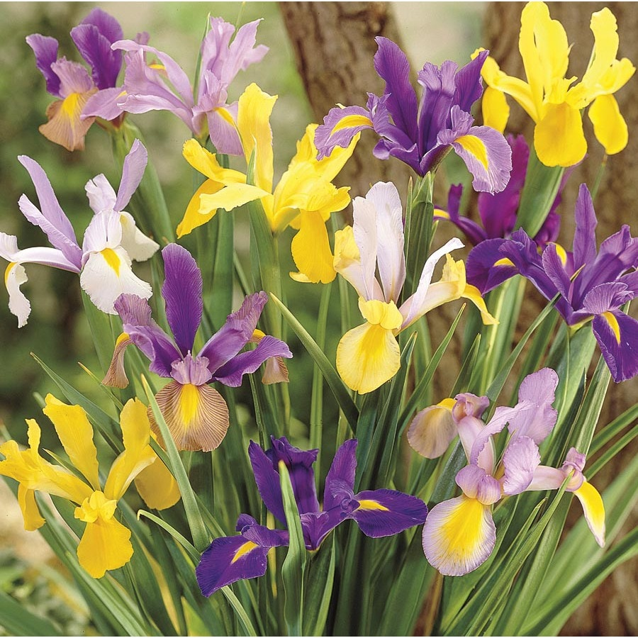 60 Count Dutch Iris Mix Bulbs L5801 At Lowes Com