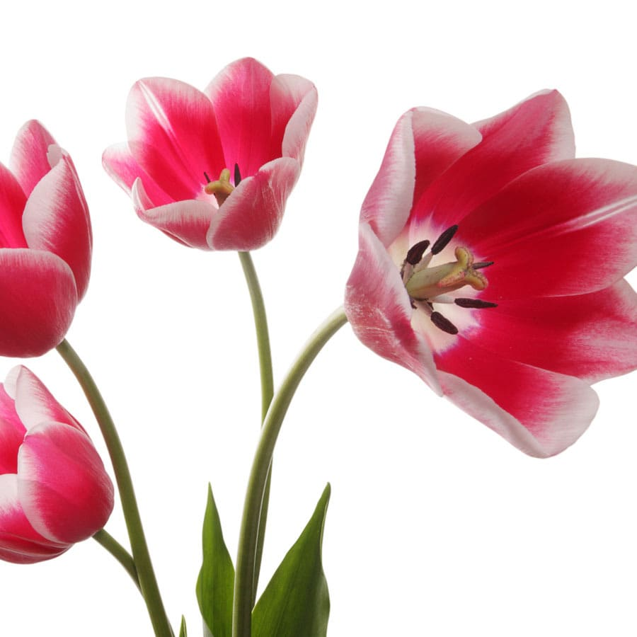 8-Pack Tulip Leen Van Der Mark Bulbs