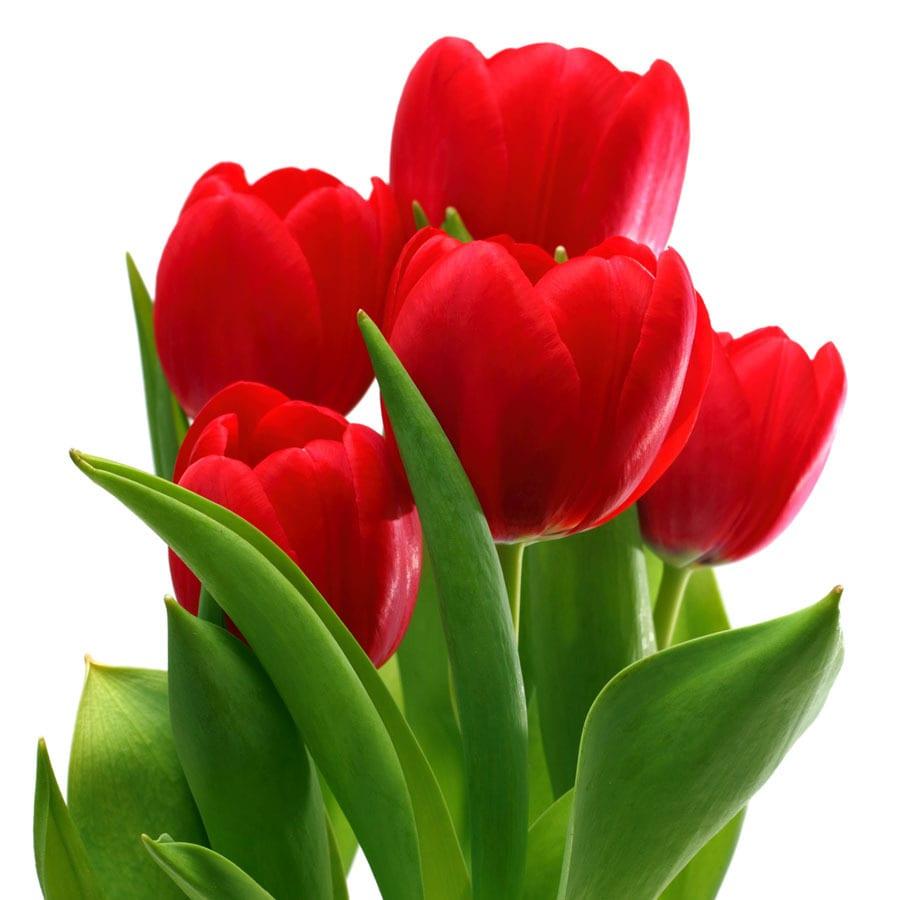 8-Pack Tulip Apeldoorn Bulbs