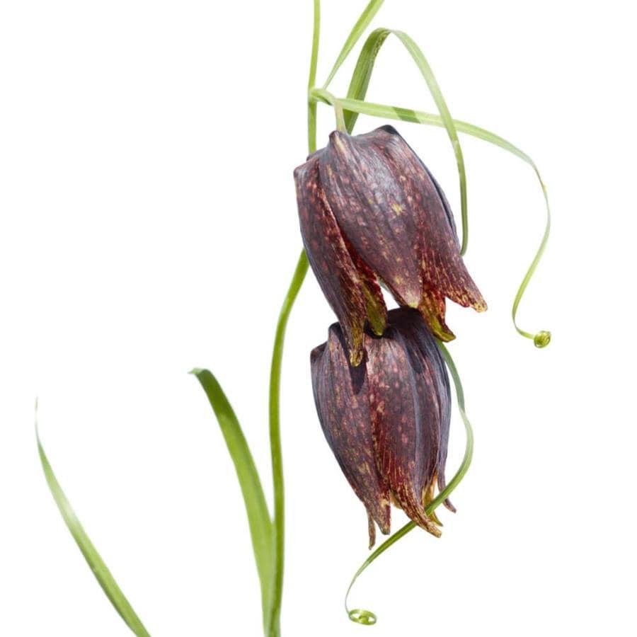 14-Pack Fritillaria Uva-Vulpis Bulbs